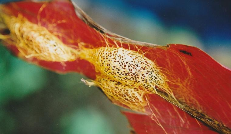 The Royal Golden Cocoon of Java: Cricula Trifenestrata